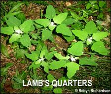 Lamb's Quarters